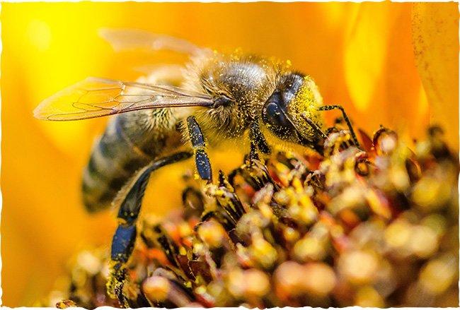 Biene mit Pollen am Körper